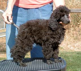 Powder Valley Poodles'