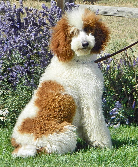 Our Male Poodles And Goldendoodles Powder Valley Poodles
