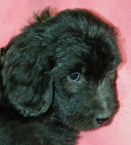 Maya as a pup, dark with traces of her future silver