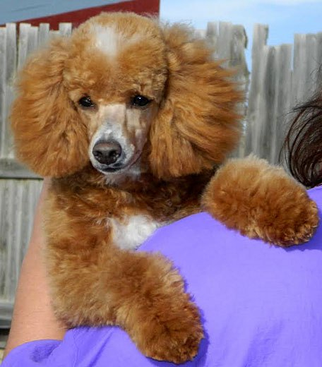 Stud Service Available Powder Valley Poodles
