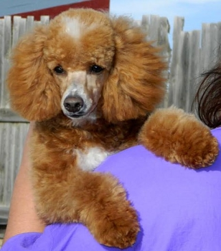 Stud Service Available | Powder Valley Poodles
