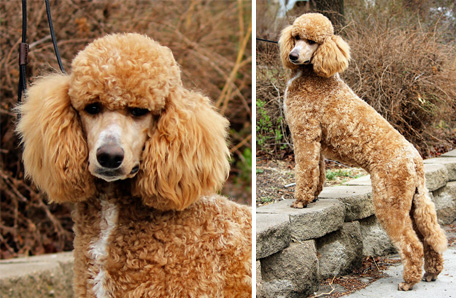 Our Female Poodles and Goldendoodles   Powder Valley Poodles