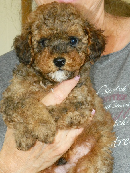 Frequently Asked Questions Powder Valley Poodles