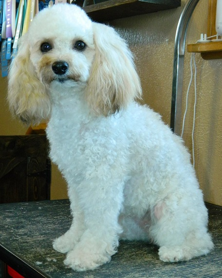 Available Puppies Powder Valley Poodles