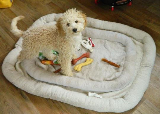Cute doodle puppy Harper