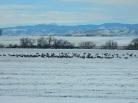 Elk across the Road