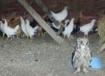Owl in chicken coop