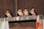 Swallows in Carport