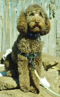 """Miniature Goldendoodle Daughter of Splash Angel and Vinny, """"Cocoa""""."""