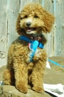 """Toy Goldendoodle Girl Daughter of Harper and Vinny, """"Scout"""""""